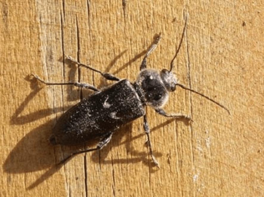 traitement bois contre insectes