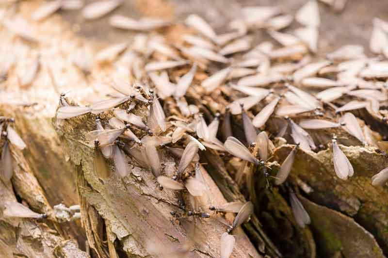 termites perpignan