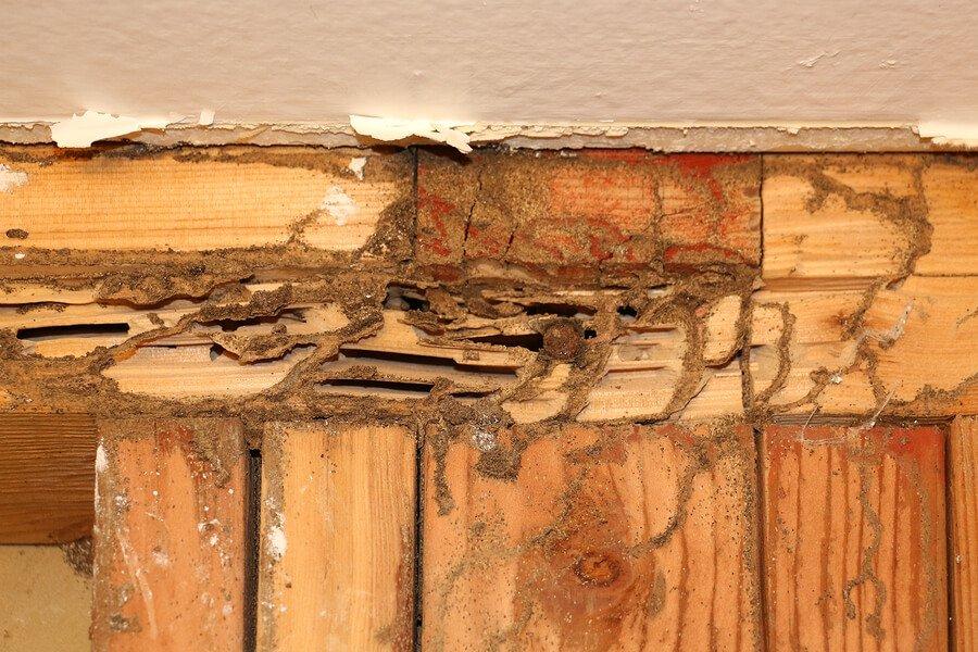 extermination termites