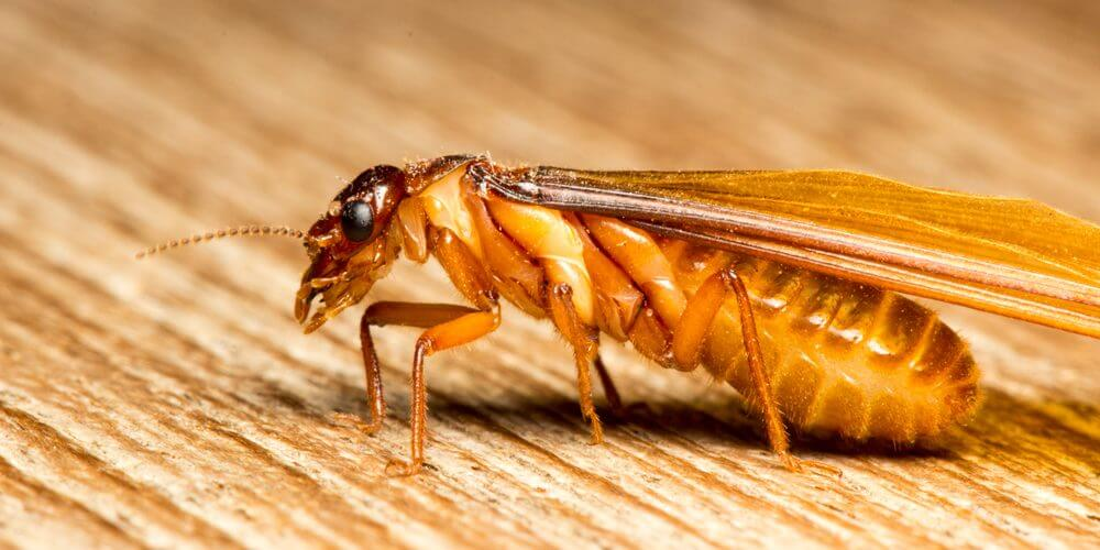 termite dans le gard
