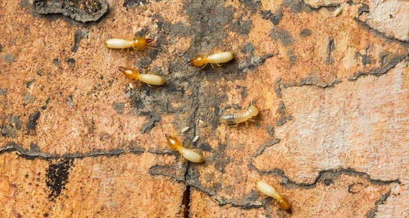 termites dnas le 30