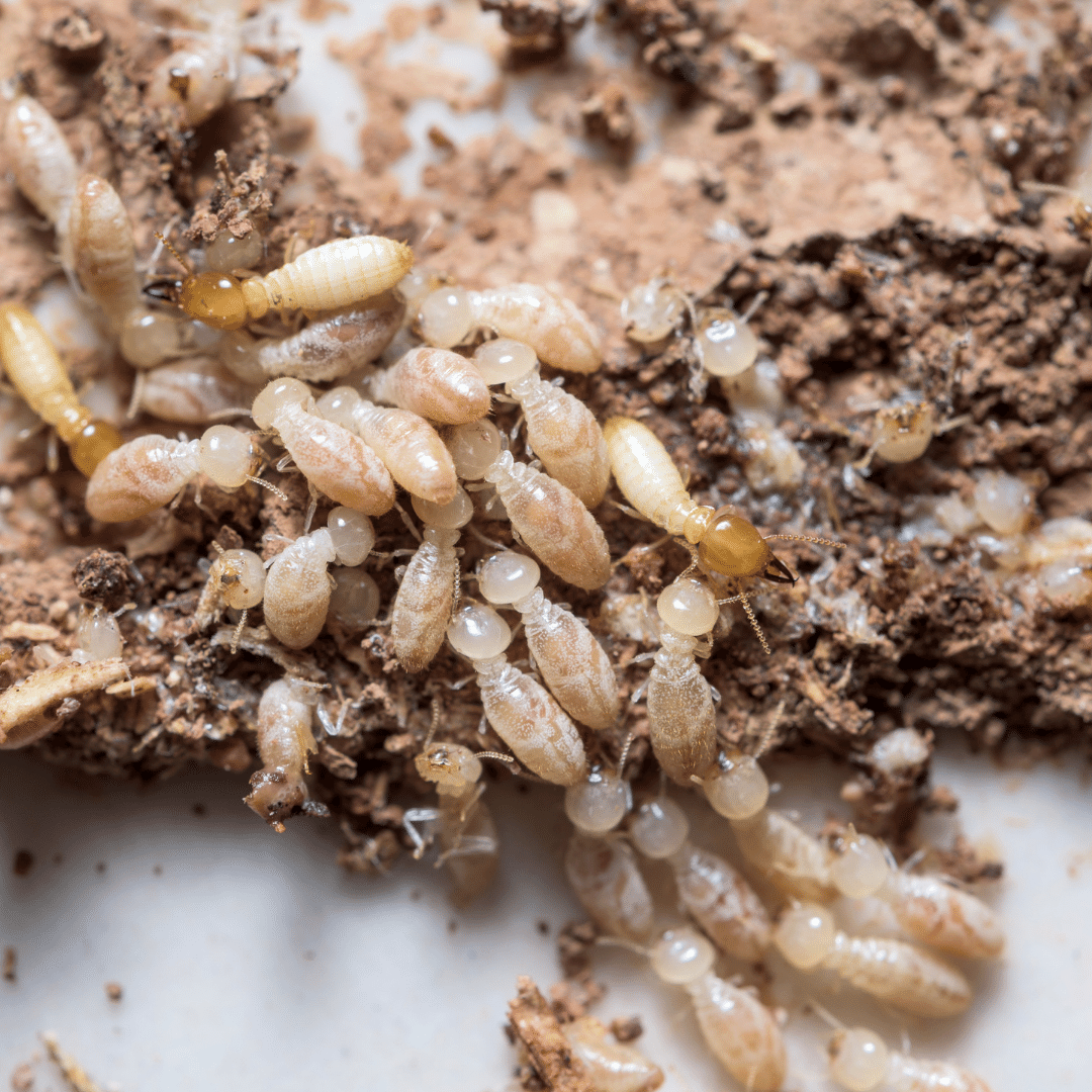 photo de termites