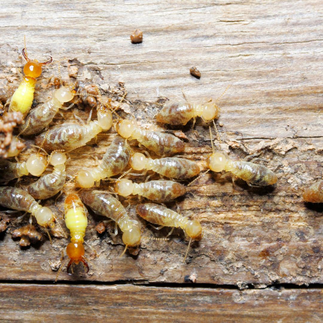termites dans le bois